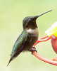 Hummingbird at rest