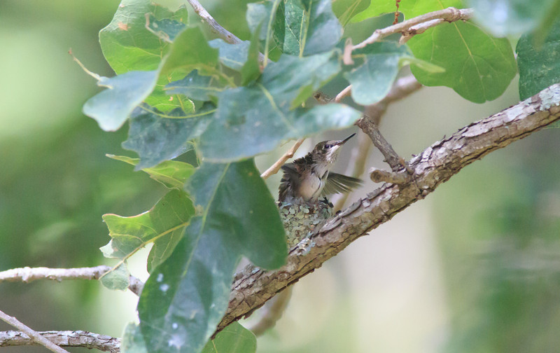 Ruby Throated Hummingbird about to leave nest.