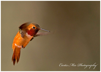 Rufous Hummingbird, male.