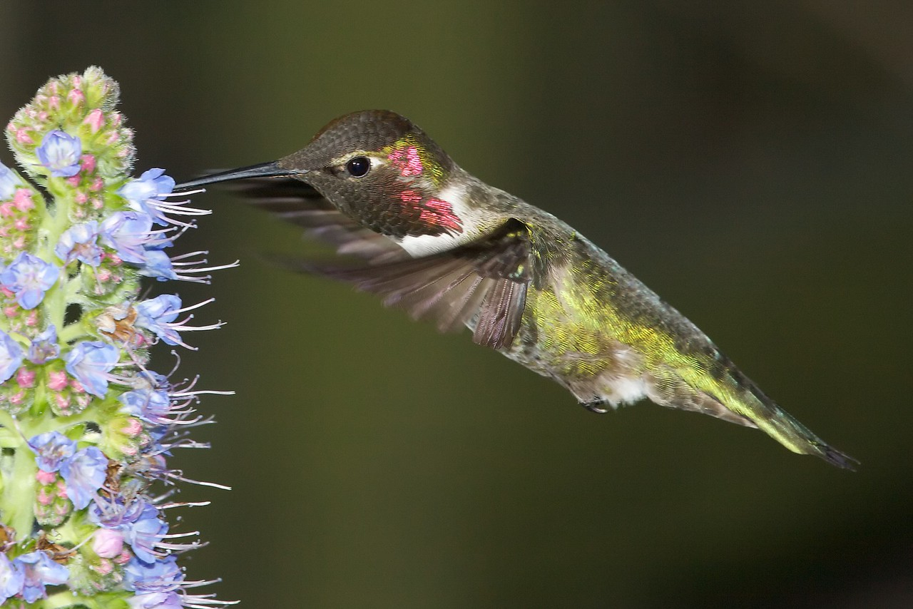 Hummingbirds  8715