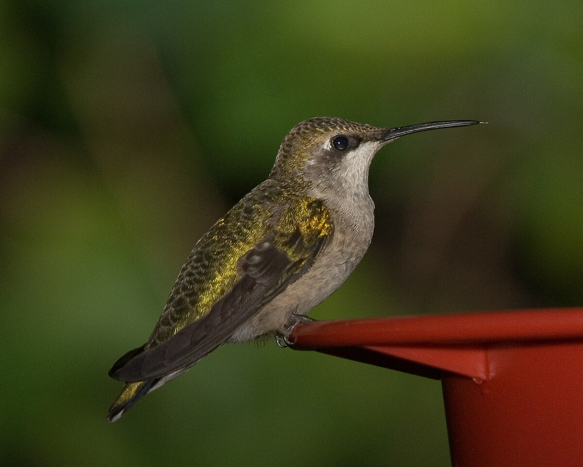 Ruby Throated Hummingbird (5)