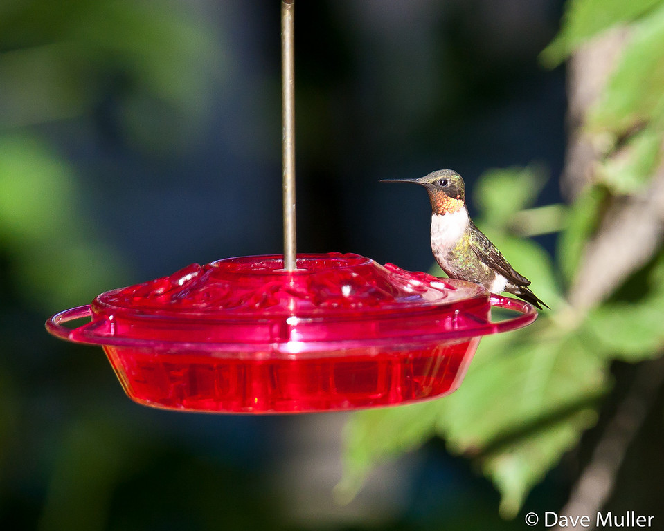 Hummingbirds_20100904-21