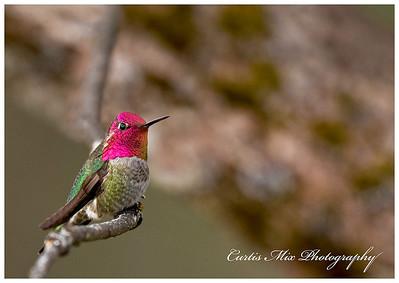Anna's Hummingbird, male.