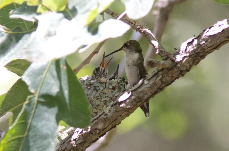 Ruby-Throated Hummingbird one week prior to leaving nest