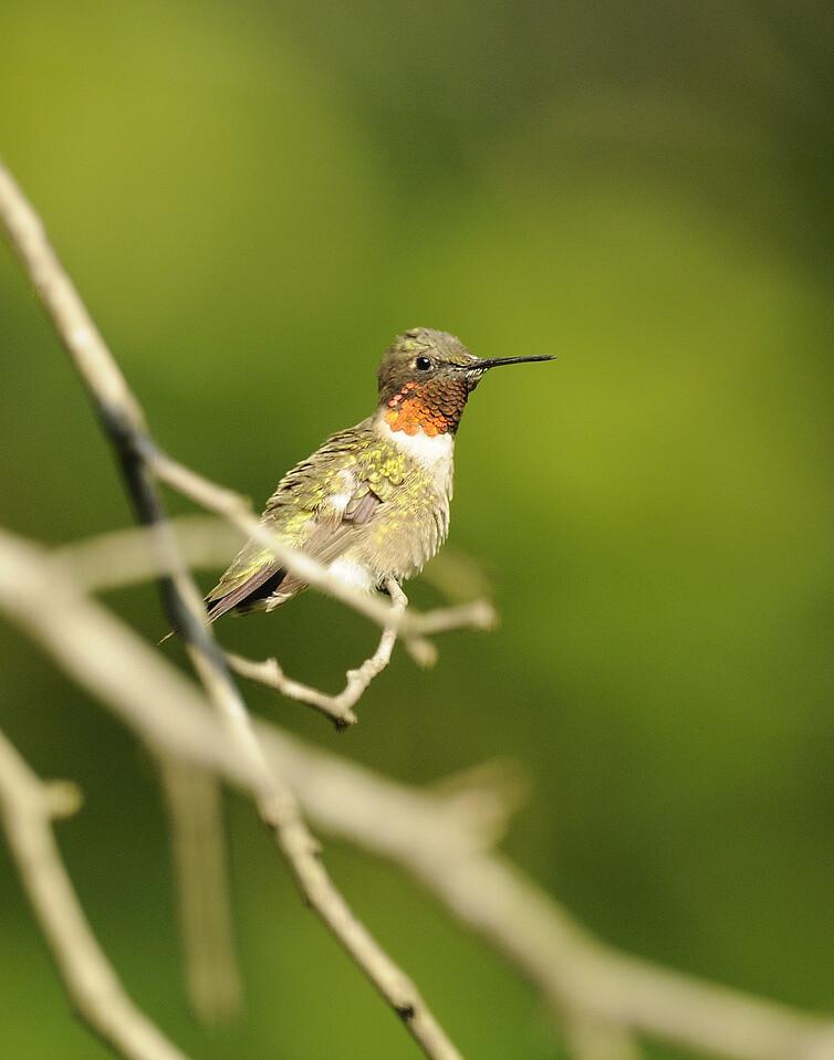 Ruby Throated Hummingbird (18)