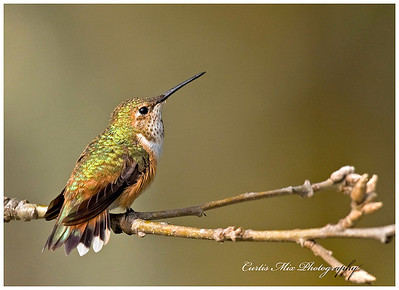 Tail fanned out. Rufous Hummingbird, female.