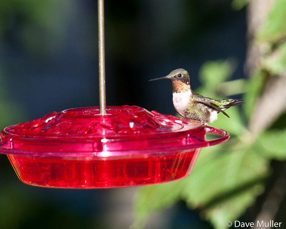Hummingbirds_20100904-11