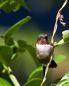 Hummingbirds_20100904-135