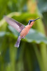 Hummingbird - Costa Rica
