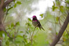 Ruby caped hummingbird in the fog