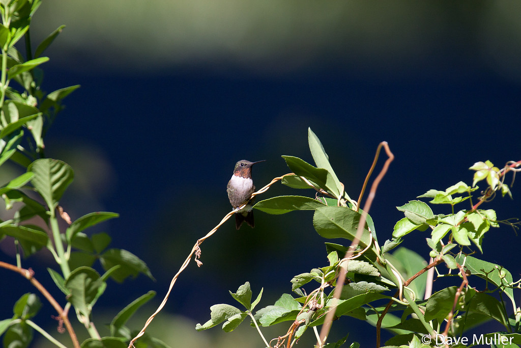 Hummingbirds_20100904-94
