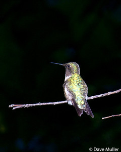 Hummingbirds_20100904-42