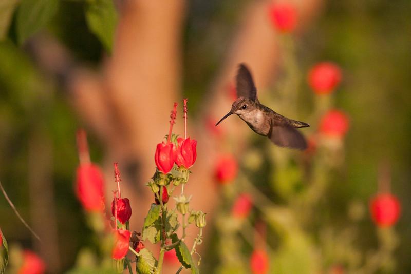 Ruby-Throated Hummingbird @ Sunrise