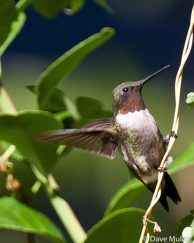 Hummingbirds_20100904-137