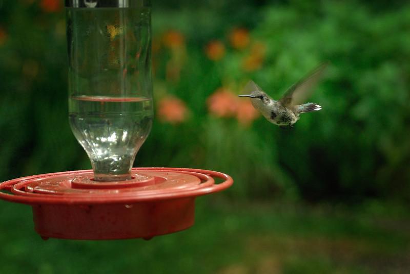 Ruby Throated Hummingbird (1)