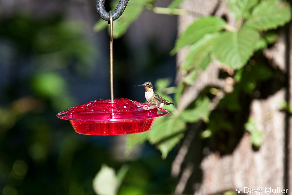 Hummingbirds_20100904-12