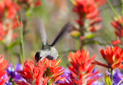 Female Anna's Hummingbird sipping nectar from Indian paintbrush by the Mt. St. Helens Johnston Ridge Observatory in Washington.