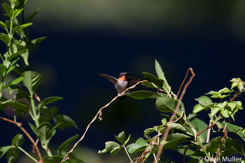Hummingbirds_20100904-111