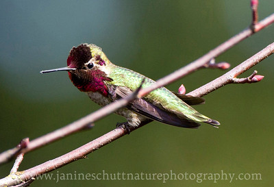 Male Anna's Hummingbird at Titlow Park in Tacoma, Washington.