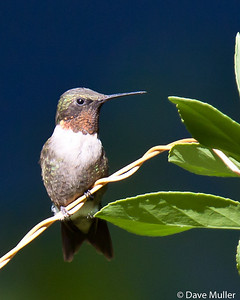 Hummingbirds_20100904-83