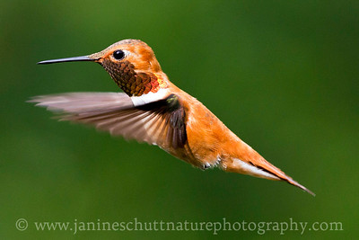 Male Rufous Hummingbird near Bremerton, Washington.
