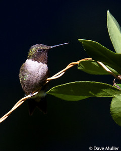 Hummingbirds_20100904-103