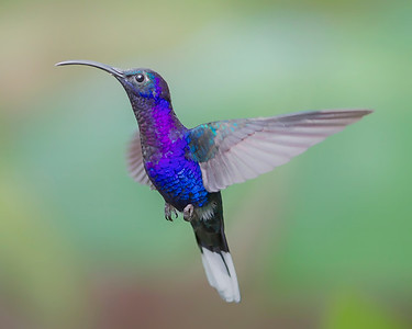 This photograph of a Violet Sabrewing Hummingbird was captured in Costa Rica (4/12).   This photograph is protected by the U.S. Copyright Laws and shall not to be downloaded or reproduced by any means without the formal written permission of Ken Conger Photography.