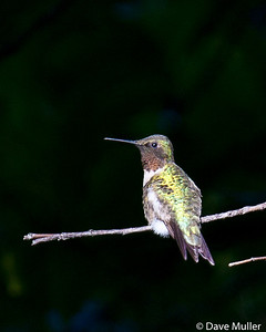 Hummingbirds_20100904-47