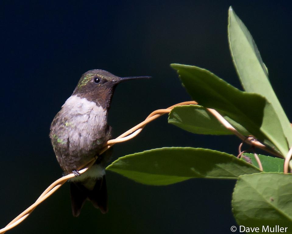 Hummingbirds_20100904-108