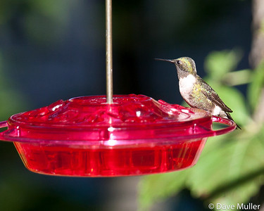 Hummingbirds_20100904-18