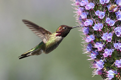 Anna's Hummingbird at Ed Levin