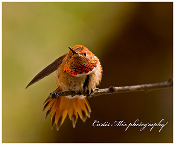 Warning! Rufous Hummingbird.