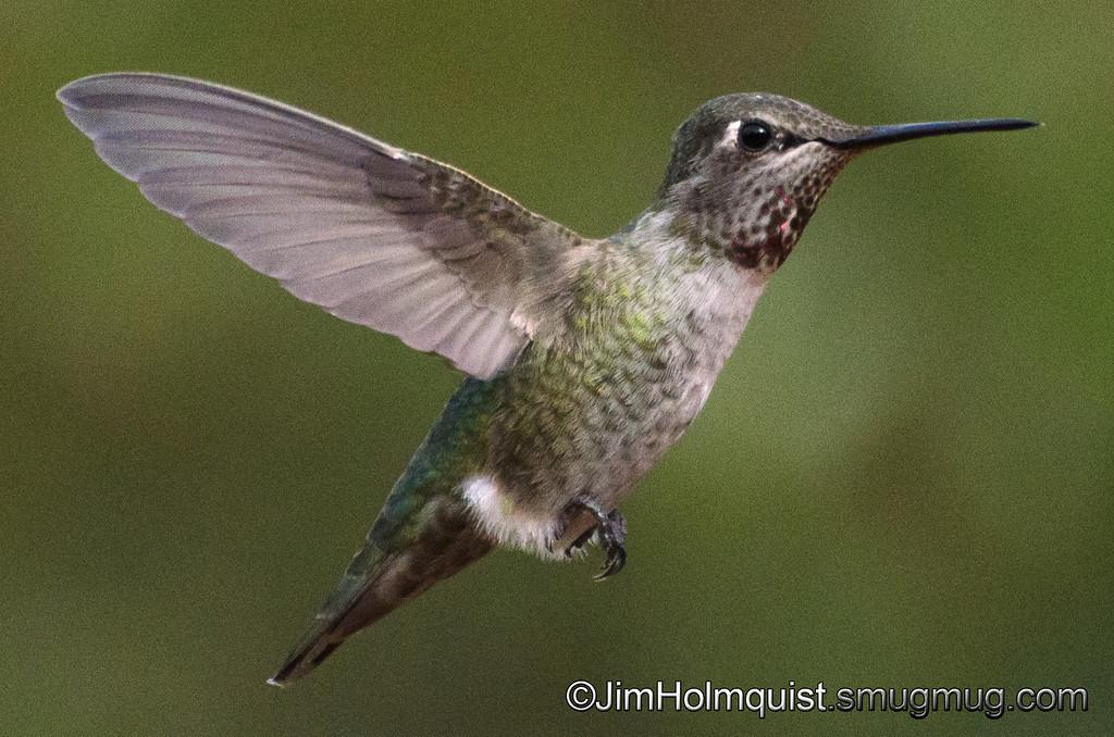 Anna's Hummingbird - in flight at 1/8000 near Olympia, Wa