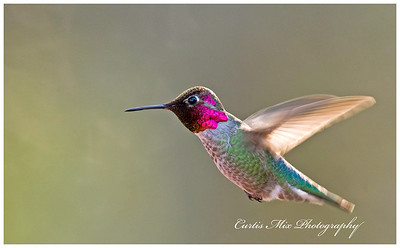 Anna's Hummingbird, male.