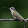 Black-chinned Hummingbird - female (Archilochus alexandri)