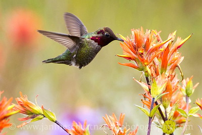Male Anna's Hummingbird sipping nectar from Indian paintbrush at the  Mt. St. Helens National Volcanic Monument in Washington.  Photo taken at the Loowit Viewpoint.