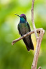 Hummingbird in the Talamanca Mountains of Costa Rica
