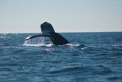 Humpbacks in Monterey 11-2013