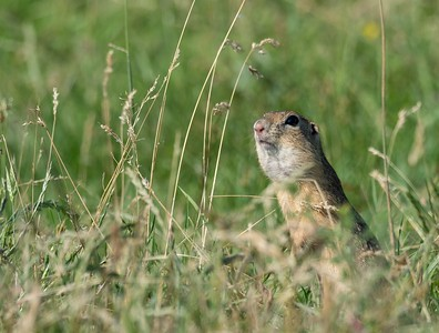 European ground squirrel or Souslik