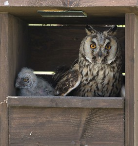 Long Eared Owl  with young in nest box