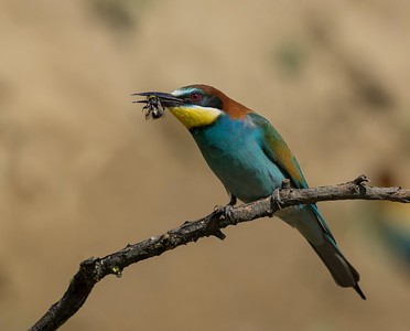 Bee Eater with Bee
