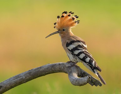 Hoopoe with crest raised
