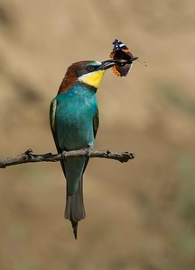 Bee Eater with Red Admiral