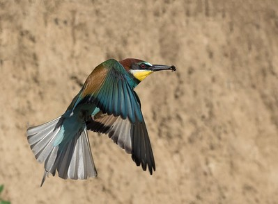 Bee Eater with prey