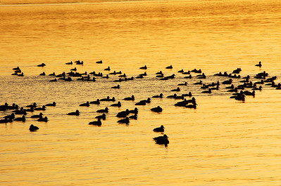 Ducks on Lake Washington