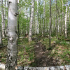 Down in the lower elevations' white birch forest