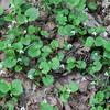 More blanda violets