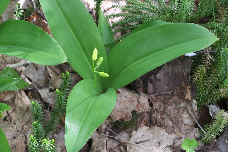 Clintonia about to bloom...
