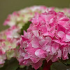 Ravel Hydrangea<br /> Canon 7D with Canon EF 135mm f/2L USM lens<br /> February 2013