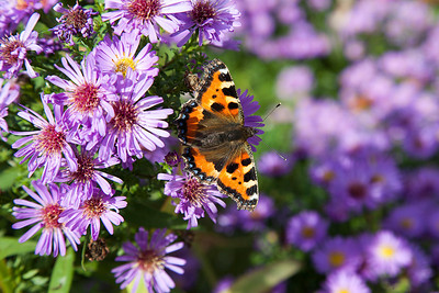 Small Tortoiseshell Butterfly. Staffordshire.
